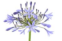 Agapanthus praecox - African lily
