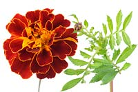 Tagetes patula x erecta 'Konstance' - Afro-French Marigold - Flower and bud