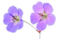 Geranium Rozanne - 'Gerwat' AGM. New and old flower
