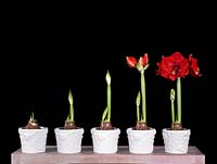 Growth stages of Hippeastrum