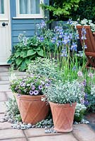 Patio with Hosta, Iris sibirica and pots of Osteospermum and Convolvulus cneorum, blue painted shed in background