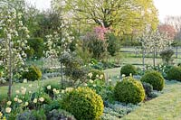 Spring borders with Pyrus 'Beurre du Comice', underplanted with Tulipa 'Primrose Beauty', Lupinus, Lavandula, Stachys byzantina and clipped Buxus balls - pink blossom in background of Malus floribunda