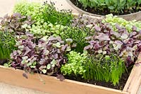 Microgreens - Top row - Watercress, Garlic Chives, Amaranth, Wild Rocket - Middle row - Amaranth, Wild Rocket, Garlic Chives, Red Radish - Bottom row - Garlic Chives, Red Radish, Watercress.