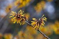 Hamamelis x intermedia 'Harry'