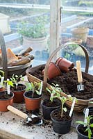 Potting bench in greenhouse with young tomato plants 'Shirley F1' and 'Rio Grande'