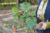Dividing Rhubarb. A woman carrying a tray of divided Rhubarb crowns to use as a gift