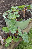 Successfully divided Rhubarb crowns growing in a metal basin, with a tray of crowns to use as gifts