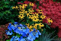 Bold primary colours for late summer and autumn. New lacecap hydrangea Teller Series, Hydrangea 'Blaumeise' with Rudbeckia 'Goldsturm', Festuca 'Intense Blue' and Acer palmatum 'Atropurpureum' in the background.