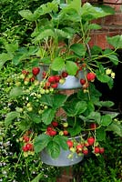Prolific strawberry crop ready for picking and growing in two jam pans suspended one above the other, ensuring well ripened, slug free fruits. July. West Midlands