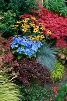 Bold primary colours for late summer and autumn in a tall terracotta pot stood on a path edge. New lacecap hydrangea Teller Series, Hydrangea 'Blaumeise' with Rudbeckia 'Goldsturm', Festuca 'Intense Blue' and Oxalis 'Burgundy' spilling down the side. Acer palmatum 'Atropurpureum' in the background.