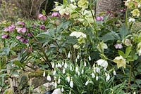 Early spring flowers, Snowdrops - Galanthus nivalis and Hellebore species grown together with Euphorbia wulfenii in the background.