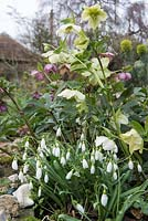 Early spring flowers, Snowdrops - Galanthus nivalis and Hellobore species grown together with Euphorbia wulfenii in the background.