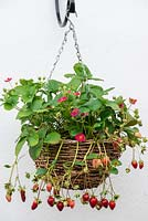 Hanging basket of Strawberry 'Tarpan' bears a steady supply of bright pink flowers and small, sweet fruit for weeks on end.