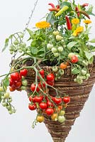 Hanging basket planted with Tomato 'Heartbreaker', marigolds and peppers.