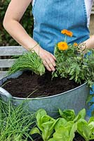 Planting marigolds, Calendula officinalis, as a companion plant in washtub, to deter whitefly from tomatoes.