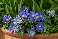 Anemone blanda in container