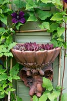 An ornamental wall mounted planter with sempervivum, surrounded by Clematis 'Dark Eyes'.