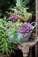 Echeveria and sedum succulents in a recycled metal tub.