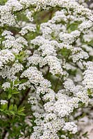 Spiraea arguta. A deciduous shrub with arching sprays of white flowers in mid and late spring.