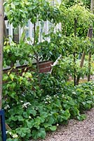 Pyrus 'Beth' and 'Concorde' backing onto a greenhouse, pears trained in a cordon, above strawberry plants