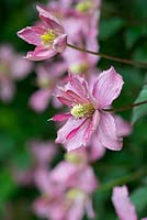 Clematis montana 'Broughton Star', a climber flowering from June.