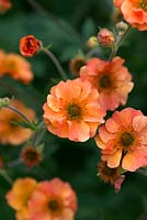 Geum avens 'Prinses Juliana', a perennial with pinkish orange, double flowers, flowering from May