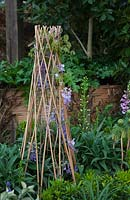 Detail of a Tee Pee planted out with Wisteria sinensis.
