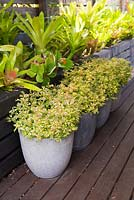 Detail of timber deck with potted Solenostemon frog's foot coleus in front of raised bromeliad border