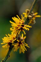 Hamamelis intermedia 'All Gold'