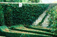 Box maze detail with a wall covered in ivy.  Bourton House Garden.