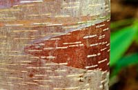 Betula albo sinensis 'Septentrionalis' - chinese red barked birch