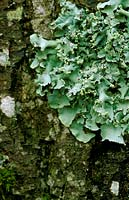 Close up of blue green lichen on tree trunk. November.