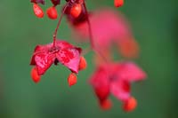 Euonymus planipes - Chinese Spindle Tree. Close up of red flowers
