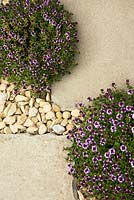 Living path with flowering thyme - Thymus