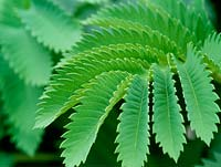 Melianthus major - honey bush. Close up of bright green toothed leaflet.
