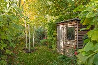View of secluded part of long, narrow, town garden in autumn with timber tool shed, wooden bench and group of three young birch trees underplanted with hellebores.