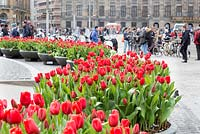 Red tulips in Dam Square, Amsterdam. The tulips form part of the tulip festival or Tulp Festival which takes place each spring around the city.