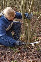 Becky Westover coppicing a Hazel tree to near ground level