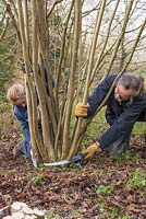 Stephen and Becky Westover coppicing Hazel trees to near ground level