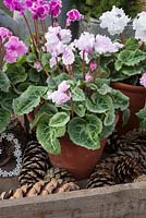 Pink Cyclamen in terracotta pots with cones