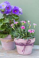 Painted Spring pots. Transformed terracotta pots planted with Primula obconica 'Touch Me' and Dianthus 'Pink Kisses'