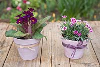 Painted Spring pots. Transformed terracotta pots planted with Primula and Dianthus 'Pink Kisses'