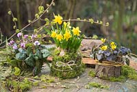Cyclamen coum, Narcissus and Ranunculus ficaria 'Brazen Hussy' planted in natural containers featuring Moss, Fern fronds and tree bark