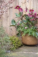 Woven basket planted with Helleborus Rodney Davey Marbled Group 'Anna's Red', Polystichum tsus-simense and Fritillaria meleagris