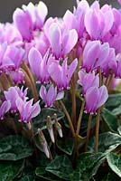 Cyclamen hederifolium roseum in October