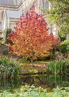 Liquidambar with Wells Cathedral behind and the well pool in front from which the town takes its name.