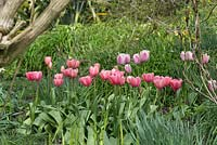 Tulipa 'Pink Impression' underplanting shady wooded garden area.