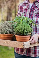 Woman holding tray of herbs: Thymus x citriodorus 'Silver Queen', Thymus vulgaris and Salvia officinalis