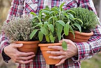 Woman holding pots of herbs - Thymus x citriodorus 'Silver Queen', Thymus vulgaris and Salvia officinalis
