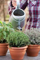 Woman watering pots of herbs - Thymus x citriodorus 'Silver Queen', Thymus vulgaris and Salvia officinalis